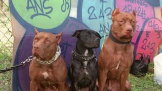 Al banquillo: pitbulls - Al banquillo  - DelSol 99.5 FM