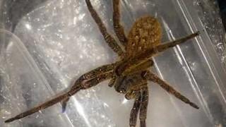 """La araña """"más venenosa del mundo"""" en Piriápolis - Cambalache - DelSol 99.5 FM"""