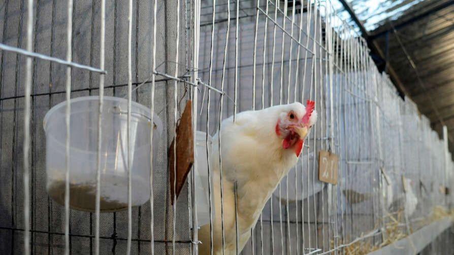 El mito de las hormonas inyectadas en pollos y cerdos uruguayos, desmentido en un minuto - MinutoNTN - No Toquen Nada | DelSol 99.5 FM