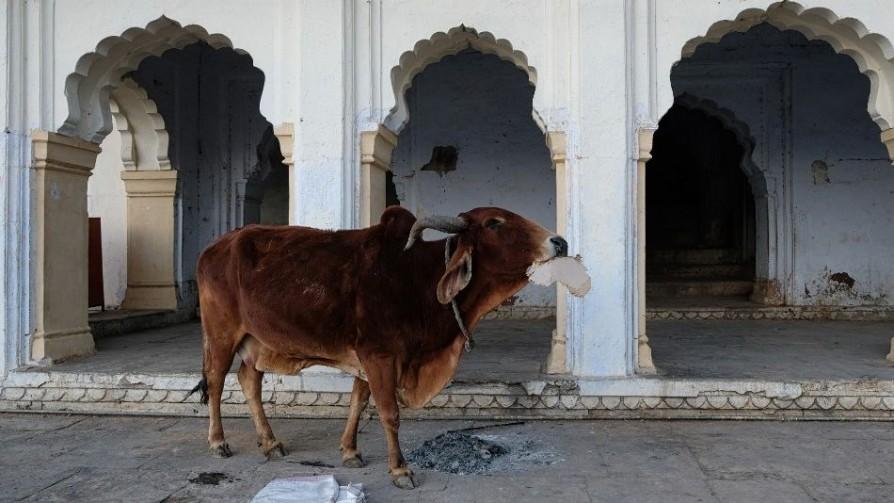 Las vacas en la India - Segmento dispositivo - La Venganza sera terrible | DelSol 99.5 FM