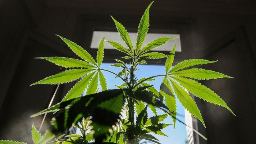 Gobierno: que el cannabis se destaque como la carne - Informes - No Toquen Nada   DelSol 99.5 FM