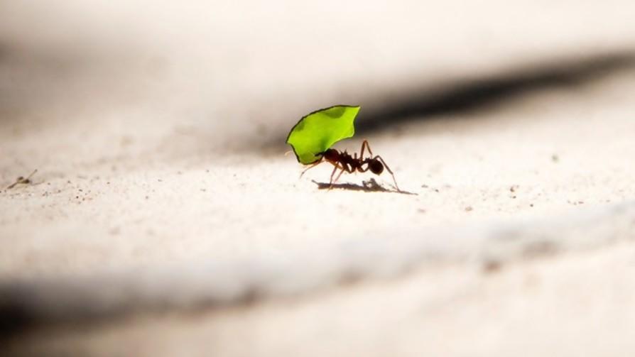 ¿Cuántas hormigas puede levantar una hormiga? - Sobremesa - La Mesa de los Galanes | DelSol 99.5 FM