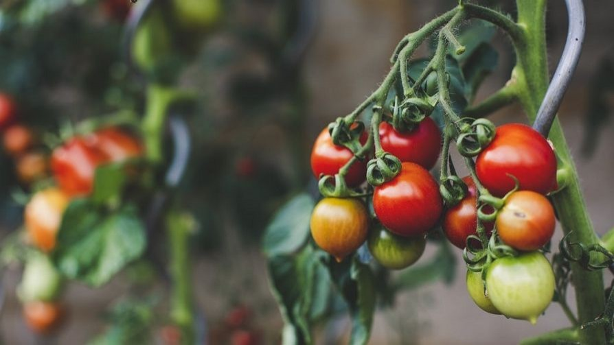 Cuentos de amor, de locura y de tomates - La Receta Dispersa - Quién te Dice | DelSol 99.5 FM
