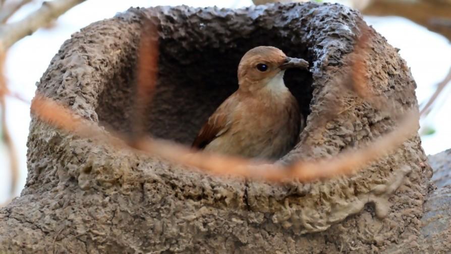 ¿Cuántos viajes hace una pareja de horneros para construir su nido? - Sobremesa - La Mesa de los Galanes | DelSol 99.5 FM