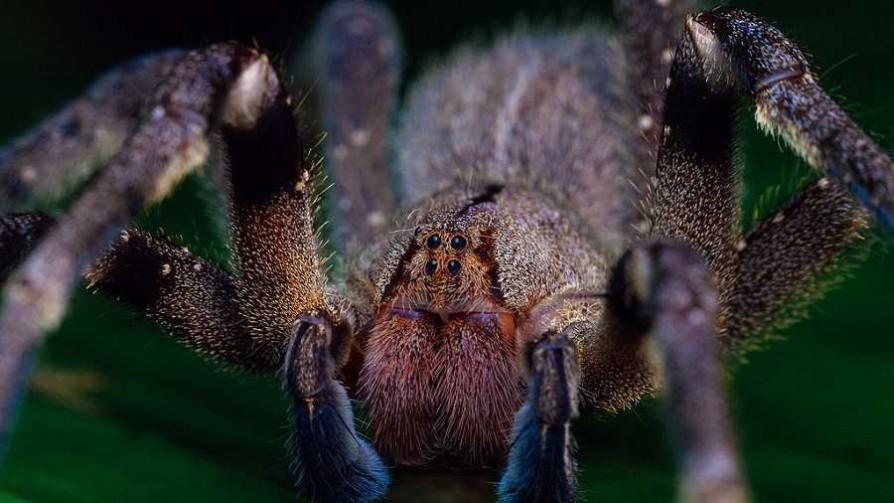 Araña bananera: el temor de los científicos por una alarma injustificada  - Entrevistas - No Toquen Nada | DelSol 99.5 FM