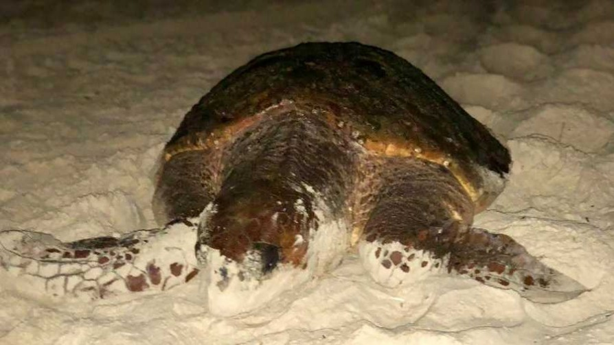 Tartabinhas: al cuidado de las sociables tortugas de Bombinhas - Entrevistas - No Toquen Nada | DelSol 99.5 FM